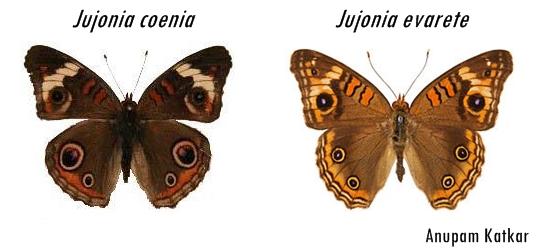 Butterfly-Junonia