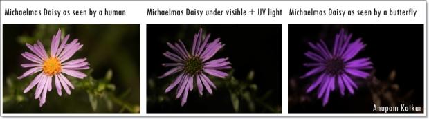 Butterfly-Michaelmas Daisy