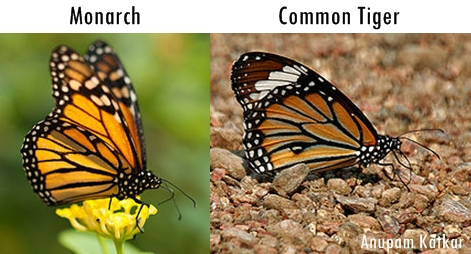 Butterfly-Monarch-Common-Tiger