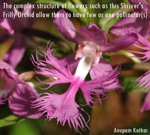 Butterfly-Shiver's-Frilly-Orchid