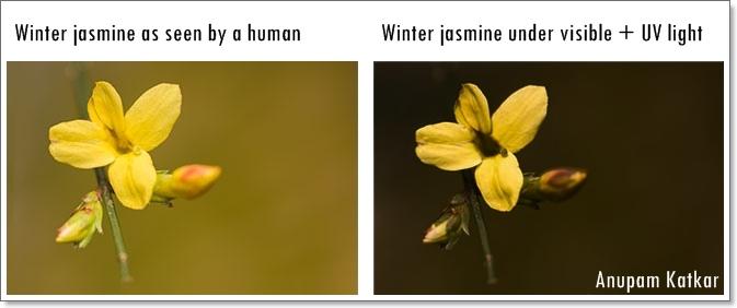 Butterfly-Winter jasmine