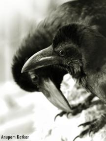 Juvenile Raven Siblings
