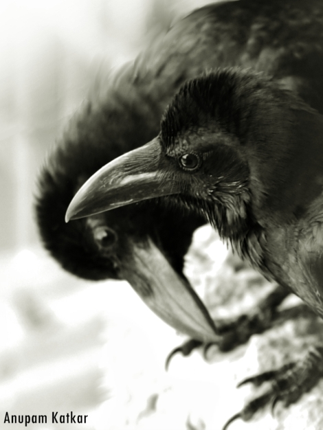 Juvenile Raven Siblings
