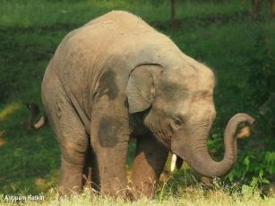Elephant calf throwing a tantrum