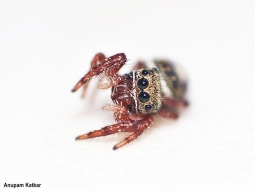 Hopper spider on a garden chair, playing dead