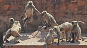 Grey langurs quarreling