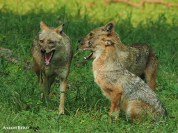Jackal pair interacting with a friend