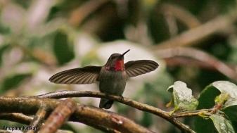 Female Anna's hummingbird landing