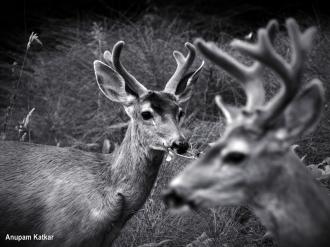 Black-tailed bachelor deer