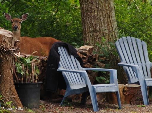 Black-tailed deer in urban habitat
