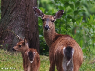 Black-Tailed Deer Mother And Fawn
