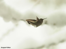 Anna's hummingbird in heavy snowfall