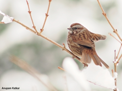 Song sparrow portrait