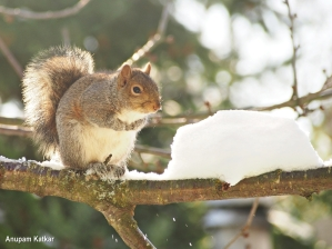 Eastern grey squirrel portrait