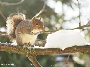 Eastern grey squirrel portrait
