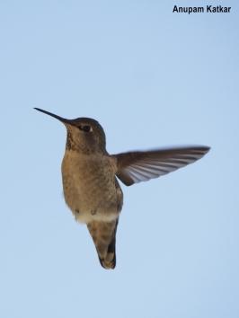 Anna's hummingbird hovering