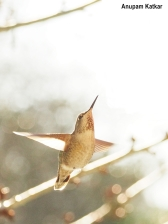Hummingbird, backlit
