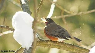 American robin eating snow