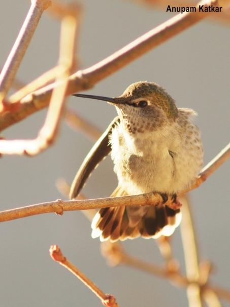 Anna's hummingbird grooming