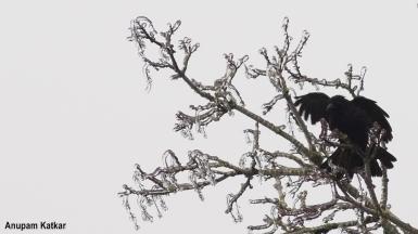 American Crow portrait