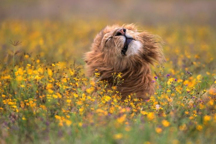 Lion-flowers